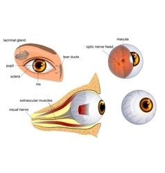 Anatomy of the eye the eyeball irispupil vector
