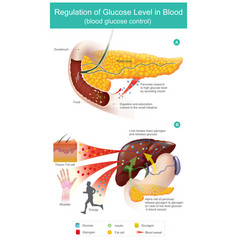 Regulation glucose level in blood pancreas vector