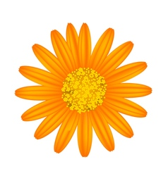 Orange Daisy Flower on A White Background vector image vector image