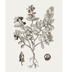 More realistic botanical cranberries vector image