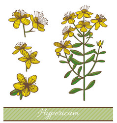 colored hypericum in hand drawn style vector image