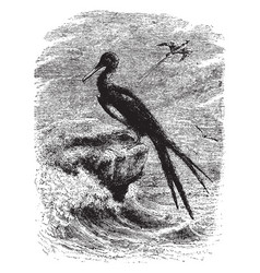 Frigate birds vintage vector