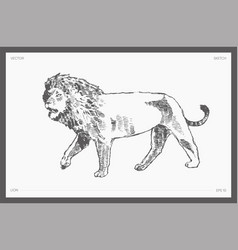 High hand drawn lion realistic sketch vector