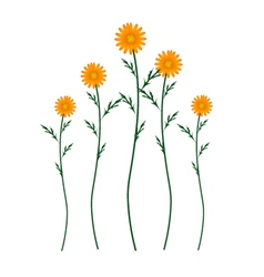 Orange Daisy Blossoms on A White Background vector image vector image