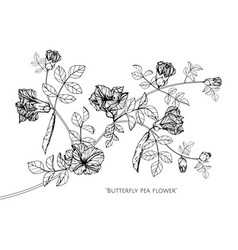 butterfly peas flower and leaf hand drawn vector image