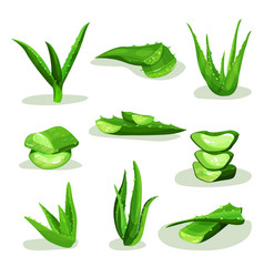 flat set of bright green aloe vera leaves vector image