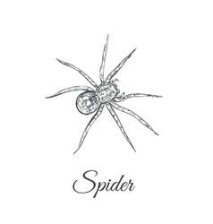 spider sketch spider vector image vector image