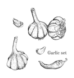 Garlic ink sketches set vector