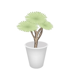 Beautiful Dragon Tree in A Flower Pot vector image