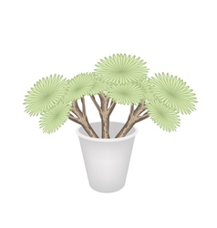 Beautiful Dragon Trees in A Flower Pot vector image