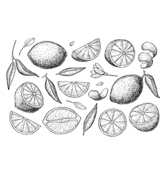 Hand drawn lime or lemon set vector