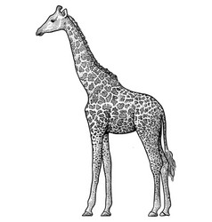 Giraffe drawing engraving ink vector
