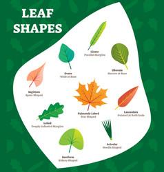 leaf shapes labeled for kids vector image