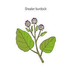 burdock medicinal plant vector image