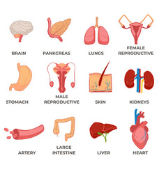 organs human body systems and structures part vector image