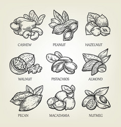 sketch of different kinds of nuts vector image vector image