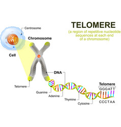 telomere vector image
