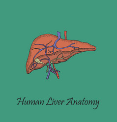 Hand drawn coloured human liver vector