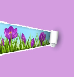 Green grass lawn with violet crocuses and ripped vector image