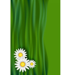 Chamomile daisy flowers vector image vector image