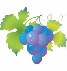 grapes vector image