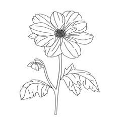 dahlia flower modern botanical drawing for vector image