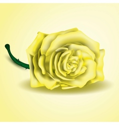 Yellow rose flower as close up vector image vector image
