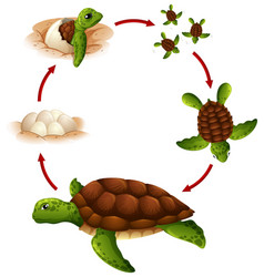 Life cycle of turtle vector
