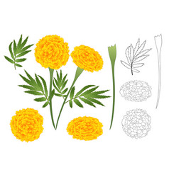 Marigold flower outline vector