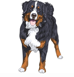 Bernese mountain dog standing and smiling vector image vector image