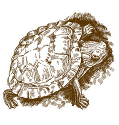engraving of turtle vector image