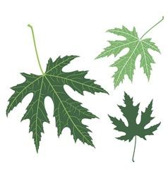 Green leaf Maple vector image