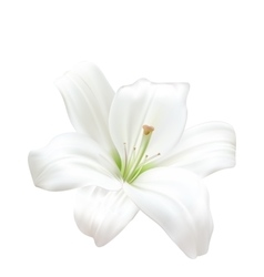 Photo-realistic beautiful white lily isolated on vector