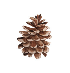 watercolor pine cone for decoration hand drawn vector image