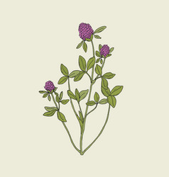 Elegant drawing of red clover with pink blooming vector