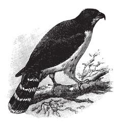 Cayenne hawk vintage vector