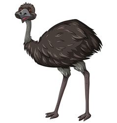 Emu bird on white background vector