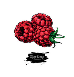 Raspberry drawing isolated berry group vector