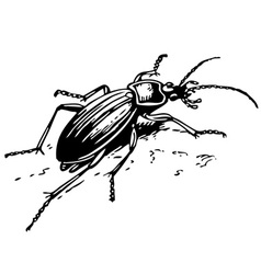 ground beetle vector image vector image