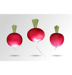 Three photo realistic radishes on a transparent vector