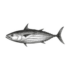ink sketch of skipjack tuna vector image