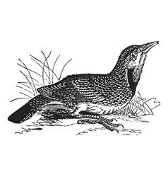 Eastern Meadowlark vintage vector image