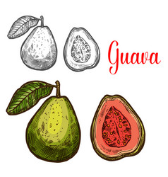 Guava tropical fruit sketch of fresh exotic berry vector