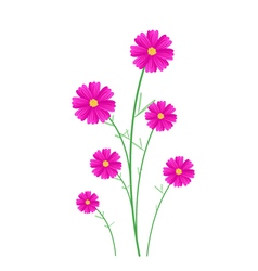 Beautiful pink cosmos flowers on white background vector
