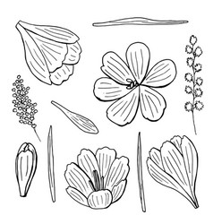 black and white crocuses and mimosa vector image