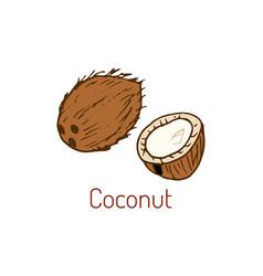 coconut hand drawn vector image