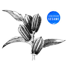 hand drawn sesame plant vector image