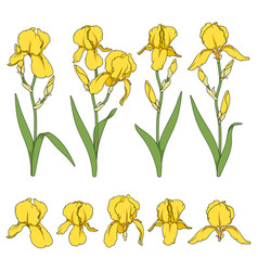set color with yellow iris flower vector image