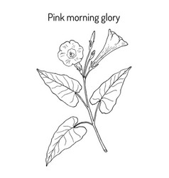 pink morning glory ipomoea carnea medicinal vector image