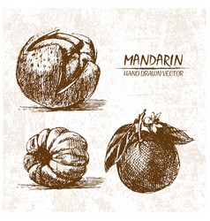 digital detailed mandarin hand drawn vector image